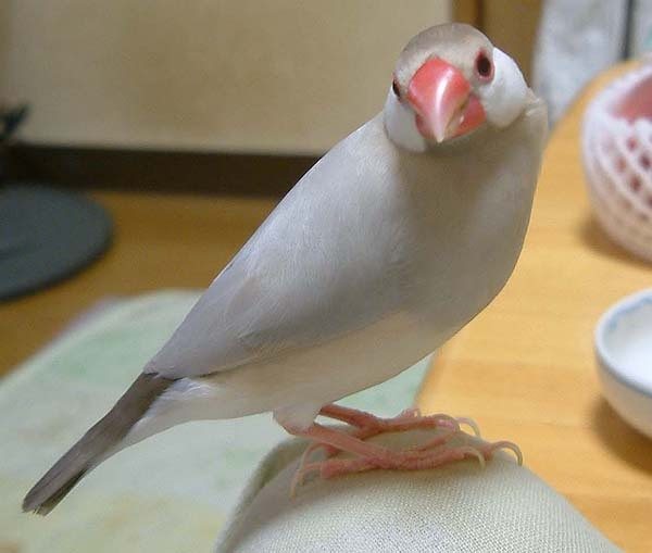 寺ピンさん文鳥